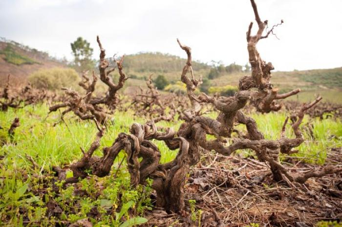 South African old vines/Collin/WOSA: Maree Louw