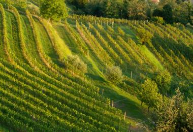 Friuli, Italy is well known  for its amber winemaking.